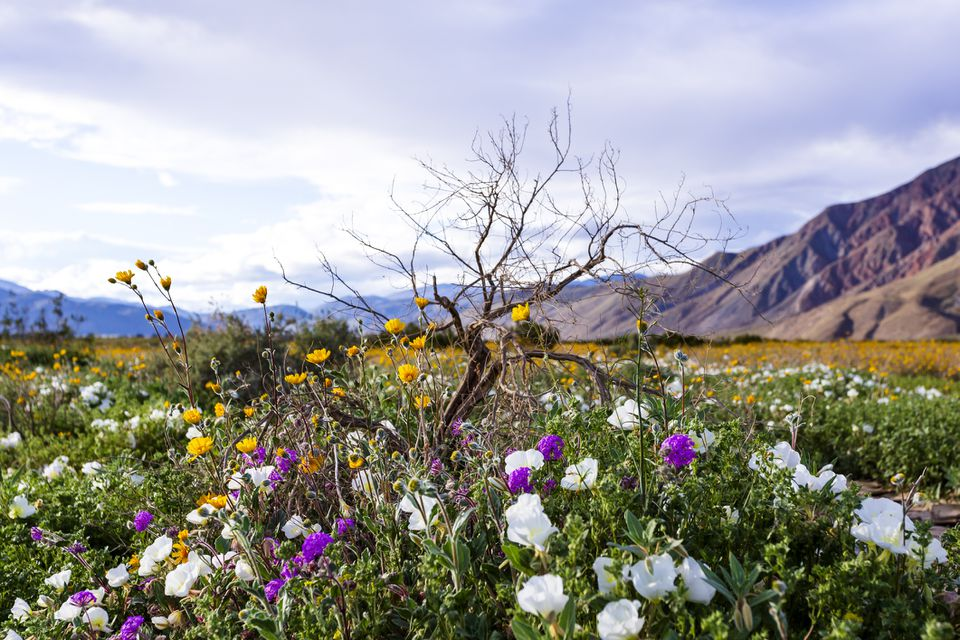 white, purple, and yellow flowers in a bush with mountains in the background