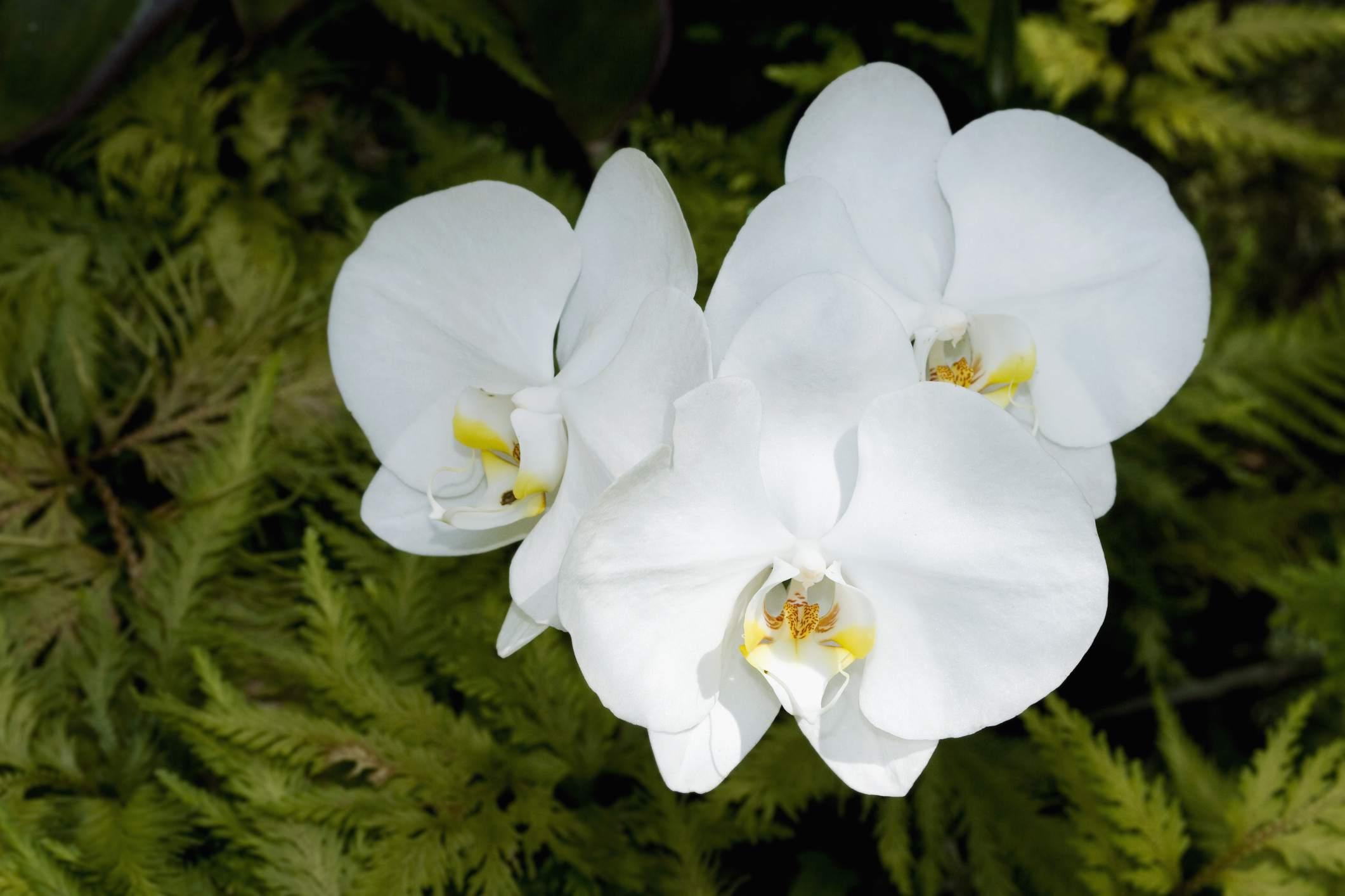 Close-up of orchid flowers in a botanical garden, Hawaii Tropical Botanical Garden, Hilo, Big Island, Hawaii, USA