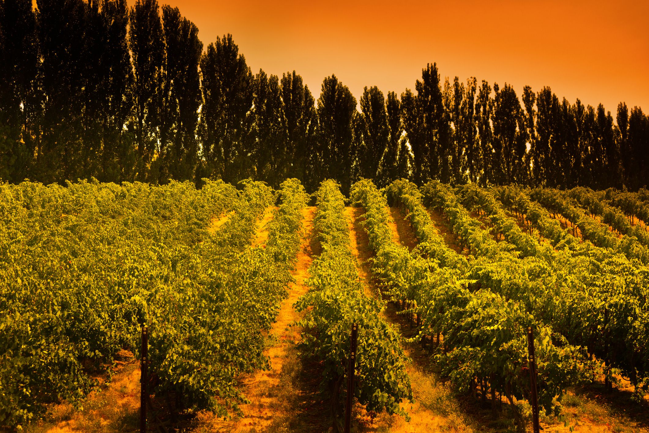 Washington State Columbia Valley Vineyard at Sunrise