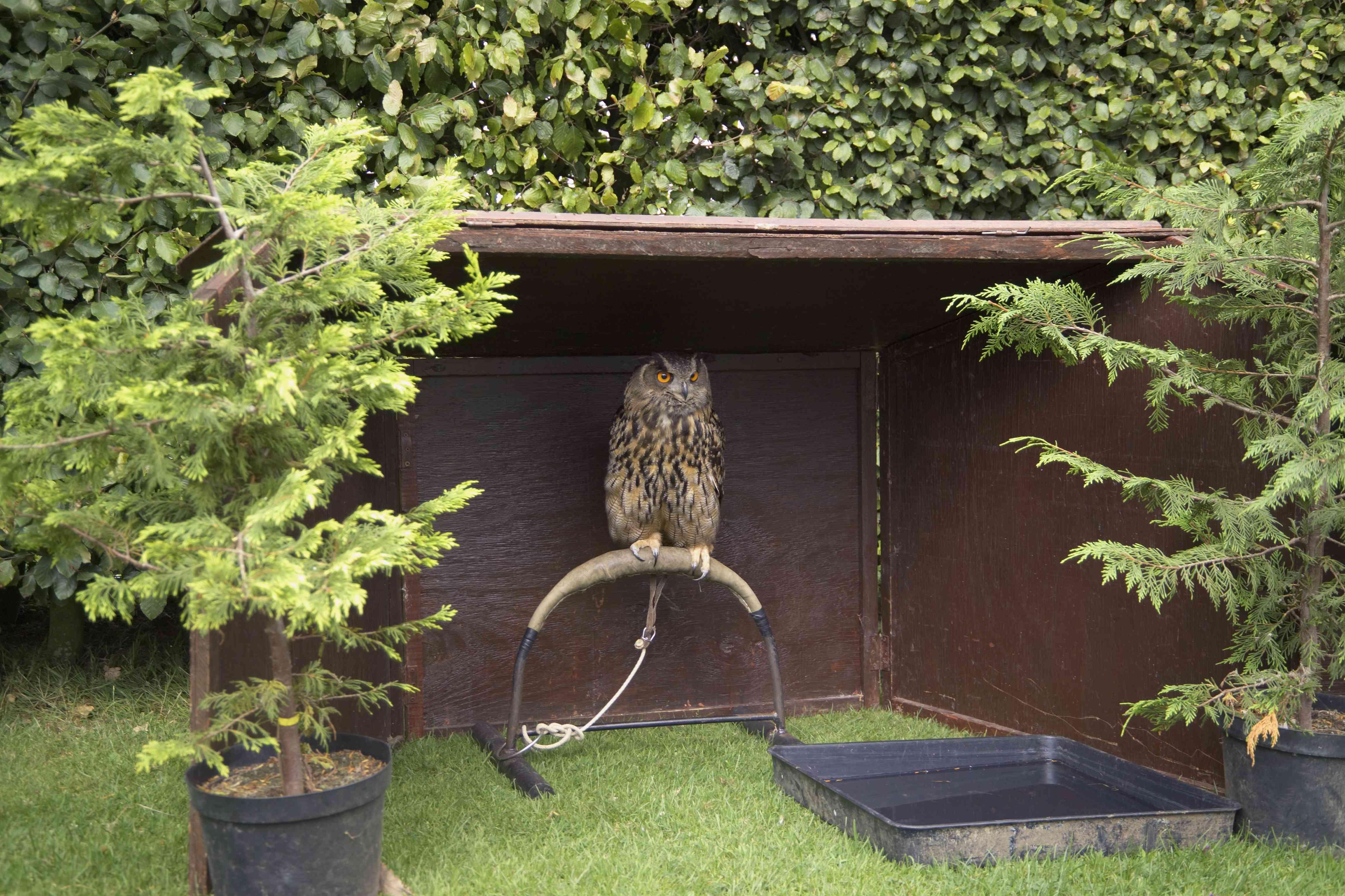 Savigny's Eagle Owl at Cotswold Wildlife Park