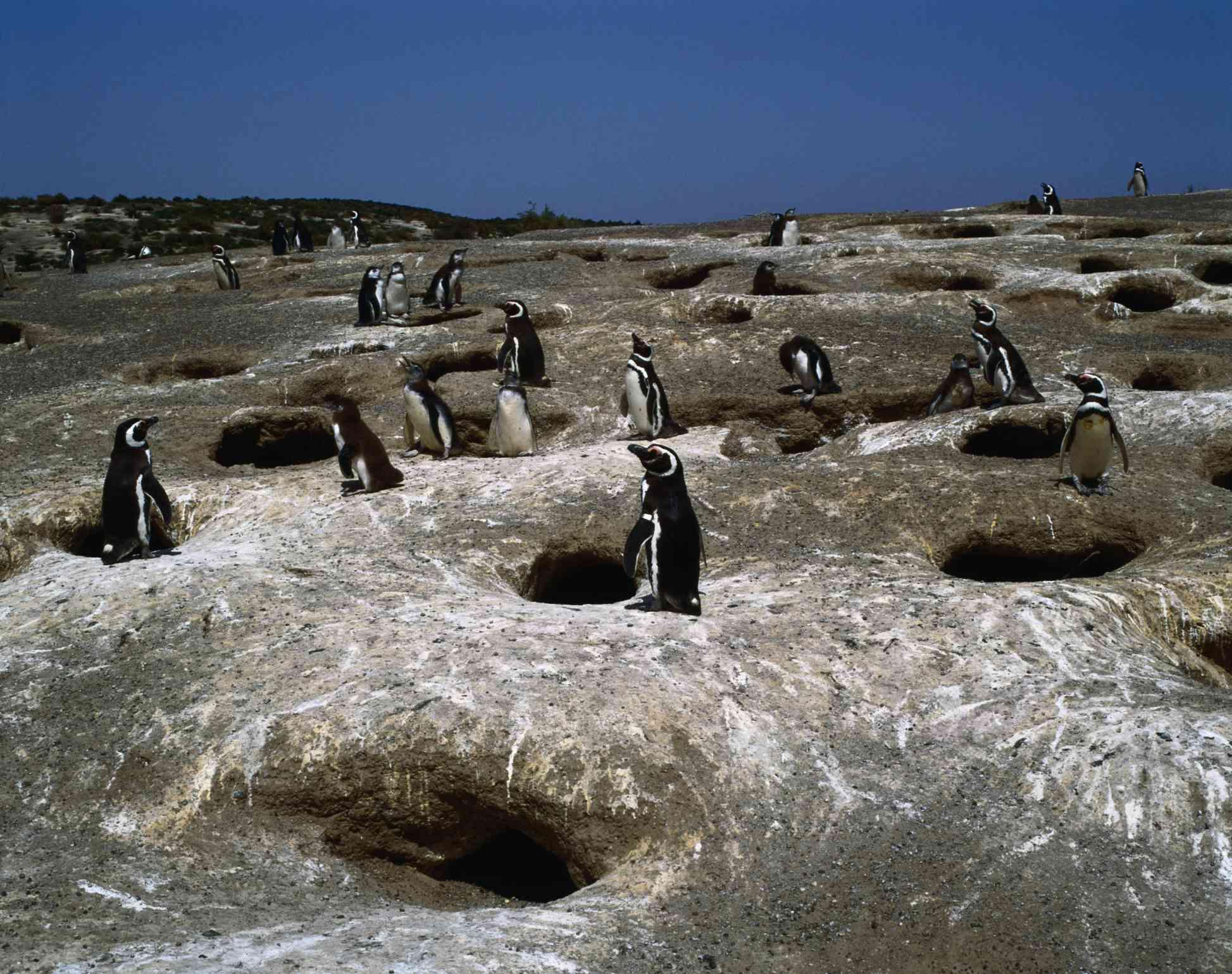 Punta Tombo es el más grande colonia reproductora del pingüino de Magallanes en la costa patagónica donde miles vienen a anidar