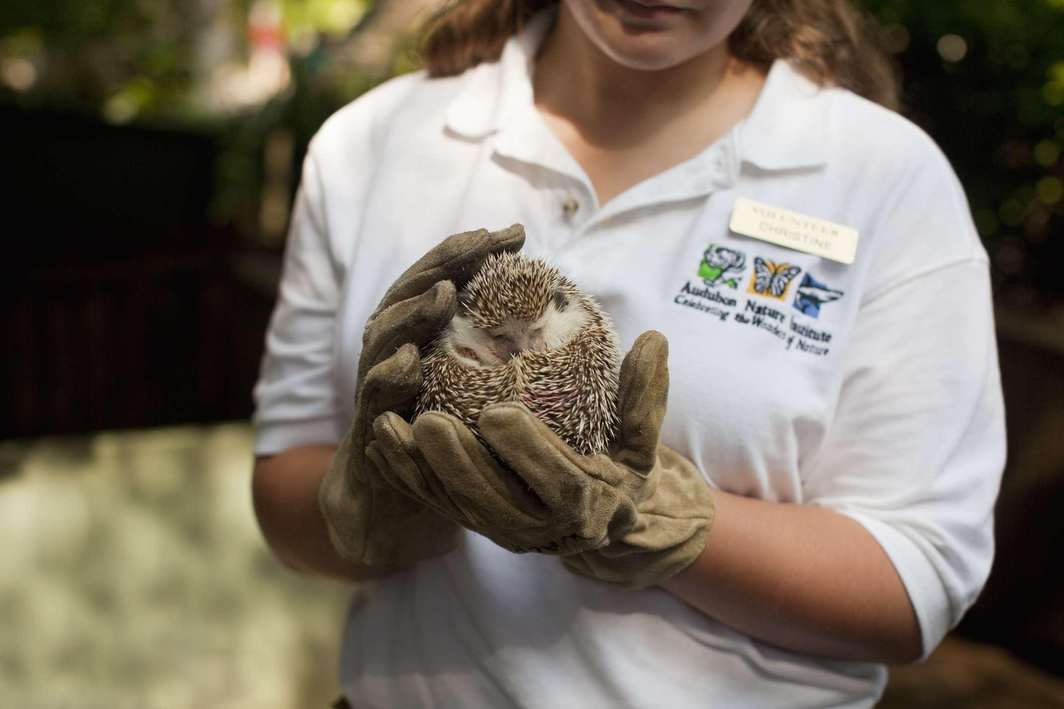 Voluntario mostrando erizo en la sección de caricias del zoológico de Audubon