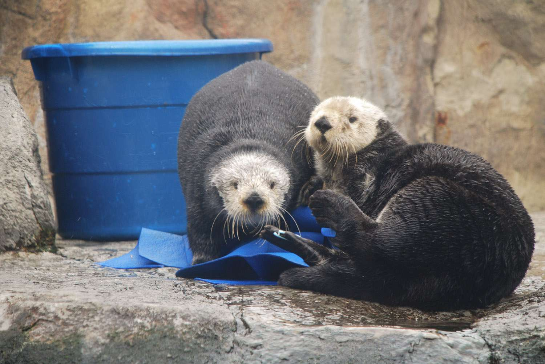 Sea Otters at the Monterey Bay Aquarium