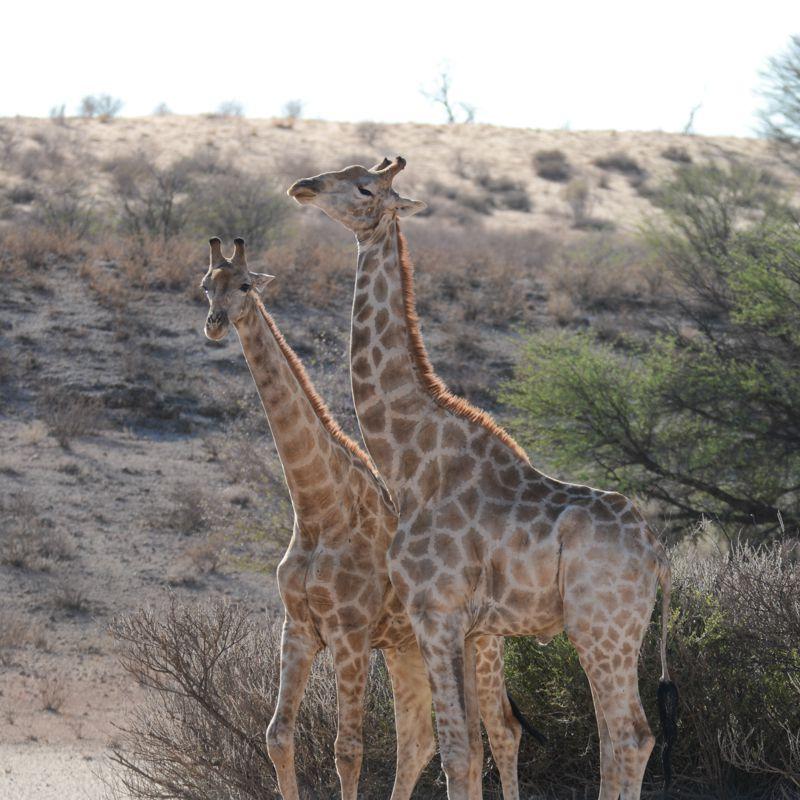 Giraffe standing tall in Kgalagadi