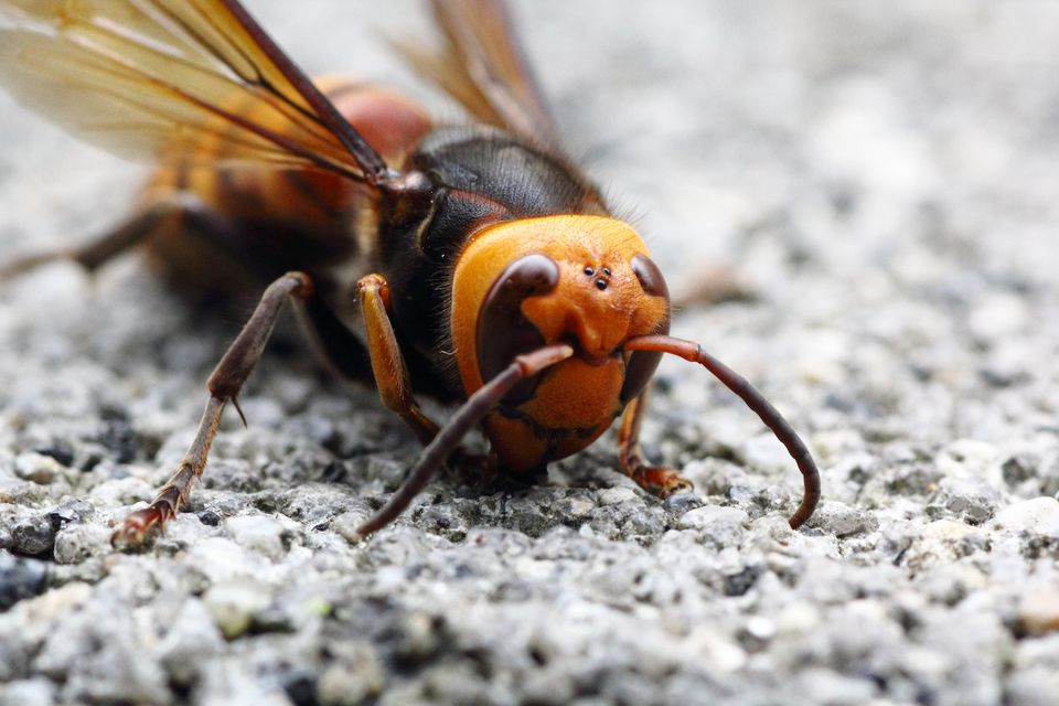 Closeup of an Asian Giant Hornet