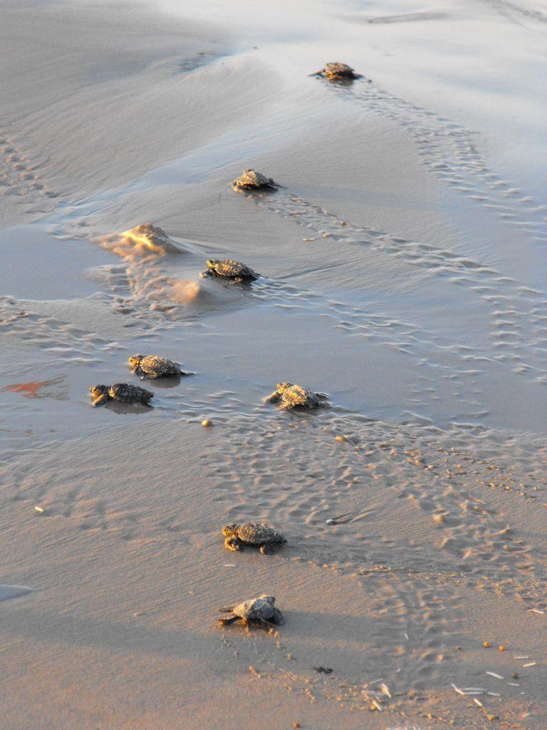 Saving sea turtles one resort at a time babyseaturtlesusfwsflickrg baby sea turtles publicscrutiny Image collections