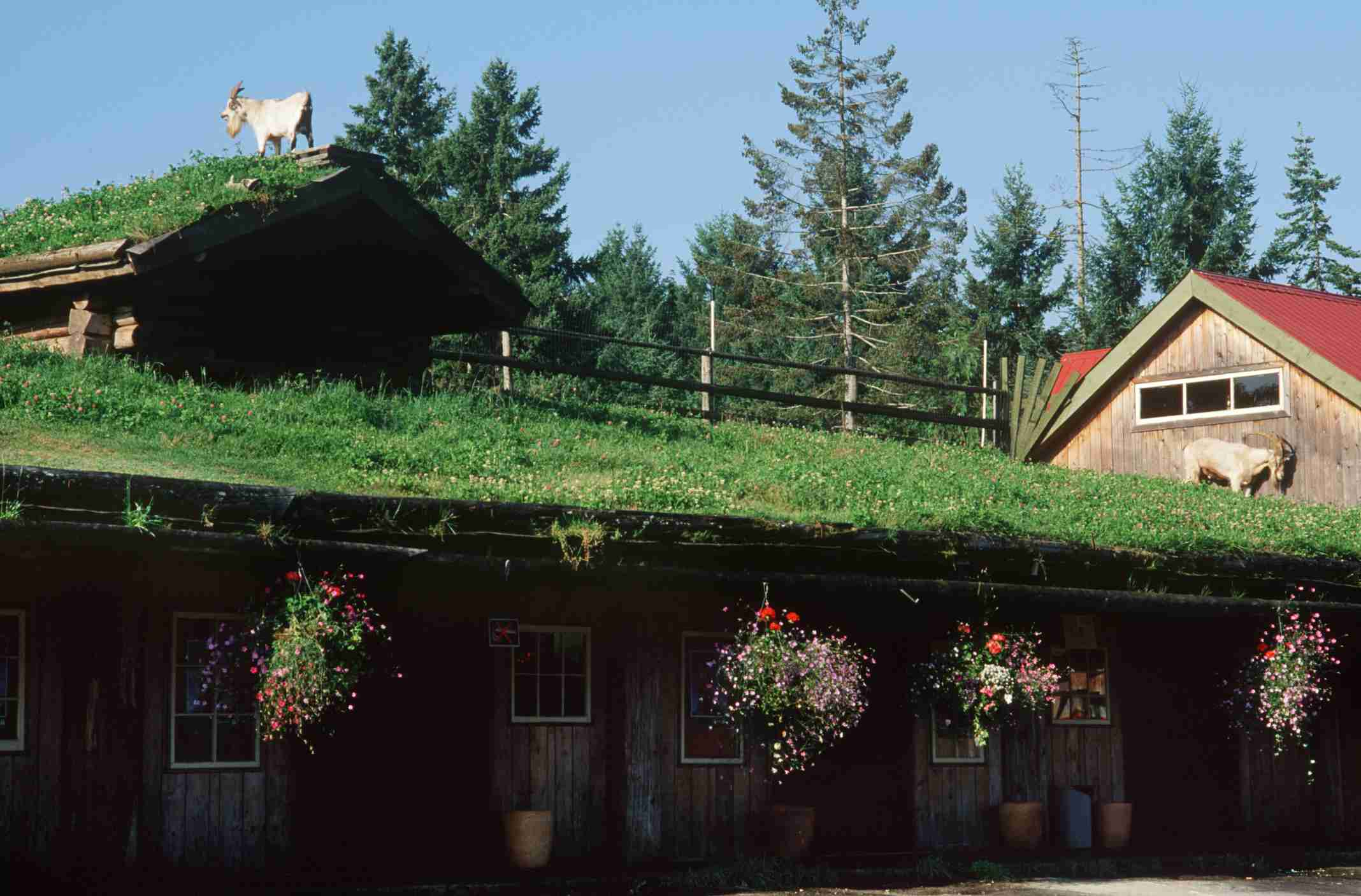 Goats grazing on its roof of the Old Country Market on Vancouver Island, Canada