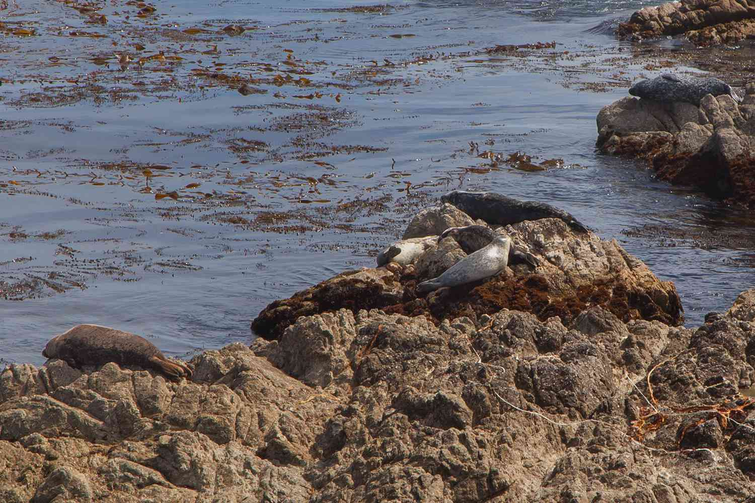 Harbor Seals at Cypress Point Lookout