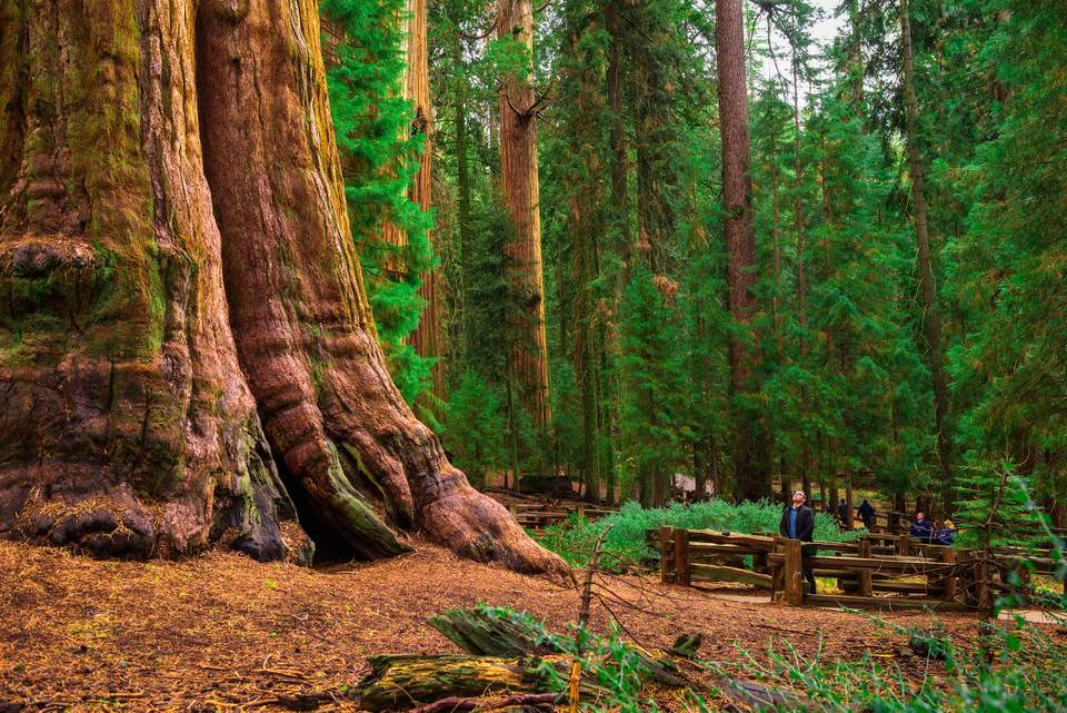 California Giant Sequoia Redwood Trees In National Park