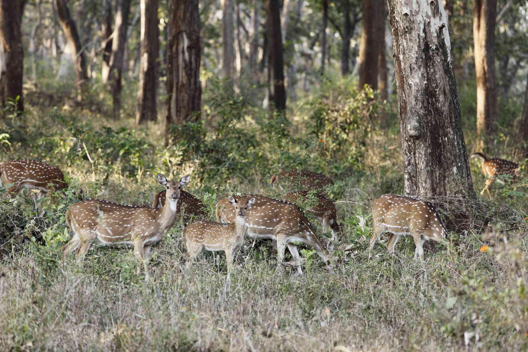 Group of axis deer, chitals -Axis axis-, Mudumalai National Park, Tamil Nadu
