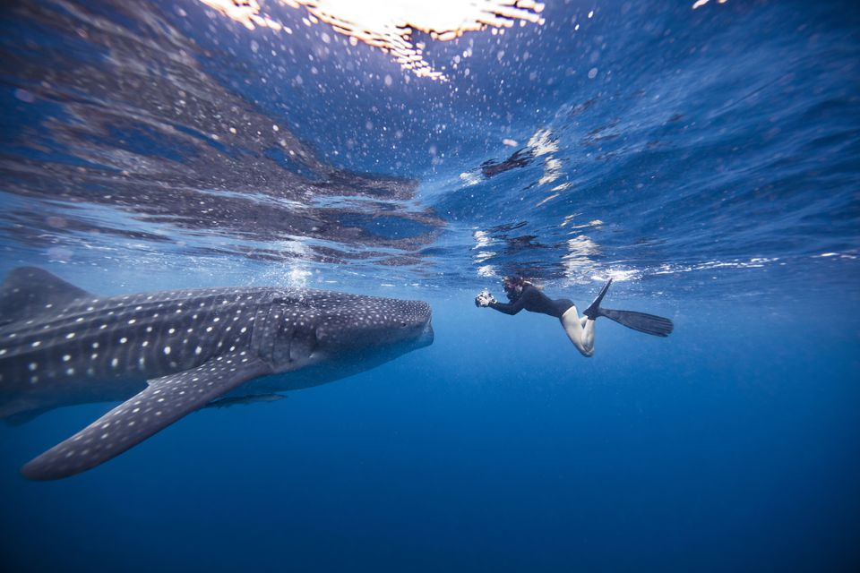 Diver swimming with Whale shark, underwater view, Cancun, Mexico
