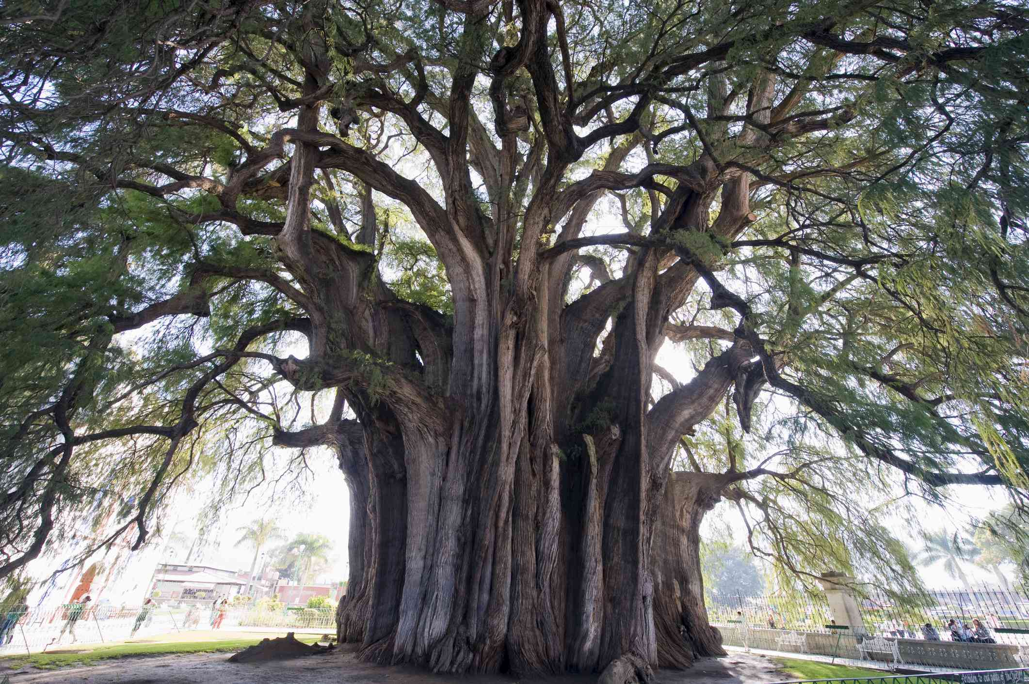 Tule tree, the worlds largest tree by circumference, Oaxaca, Mexico