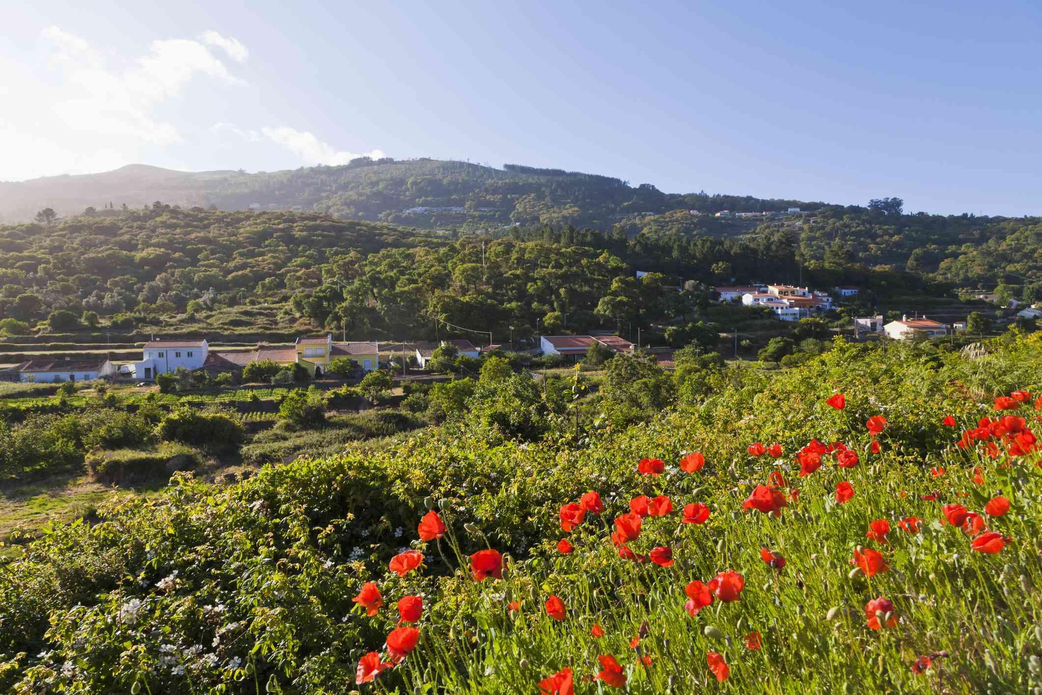 Portugal, View of poppy flower at Serra de Monchique