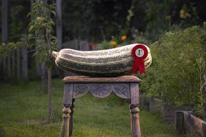 Giant prize winning Marrow.