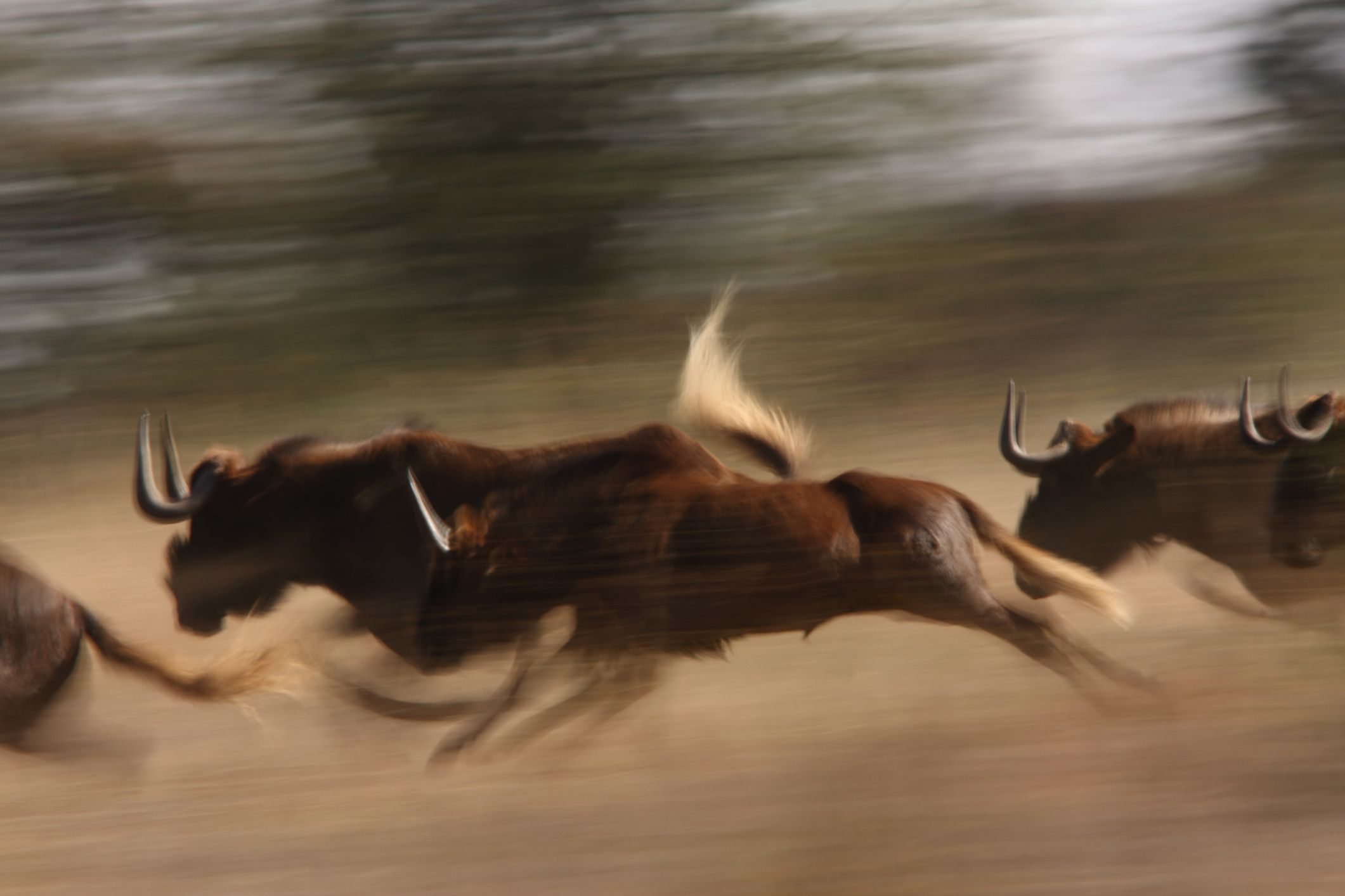Black Wildebeest, Connochaetes gnou, herd with juveniles running in grassland at edge of bushveld, side on, slow shutter. Klipriviersberg Nature Reserve, Mondeor, Johannesburg, South Africa