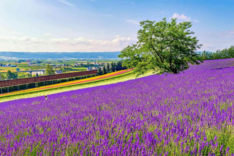 Lavender fields in Furano