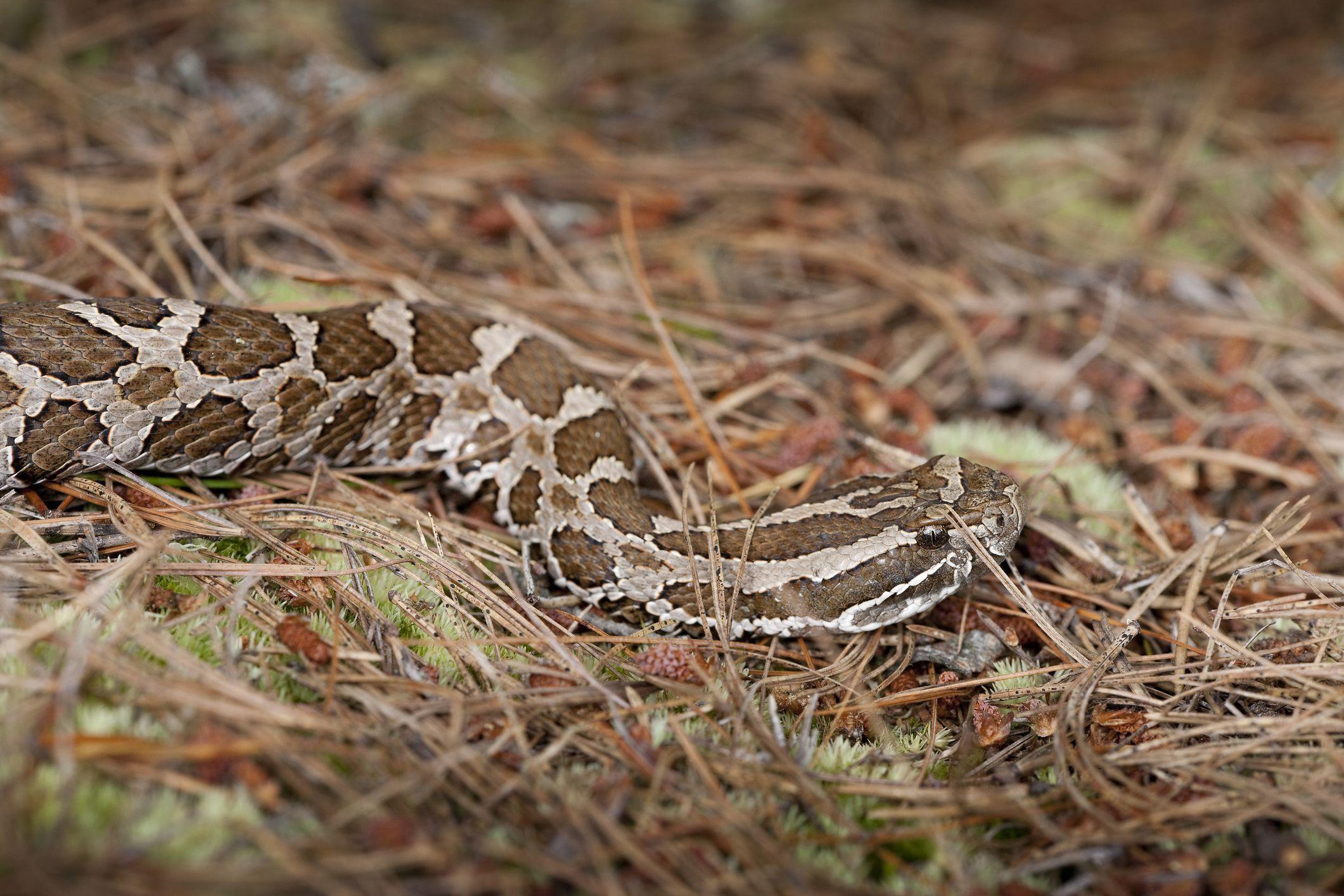 Eastern Massasauga Rattlesnake in Michigan