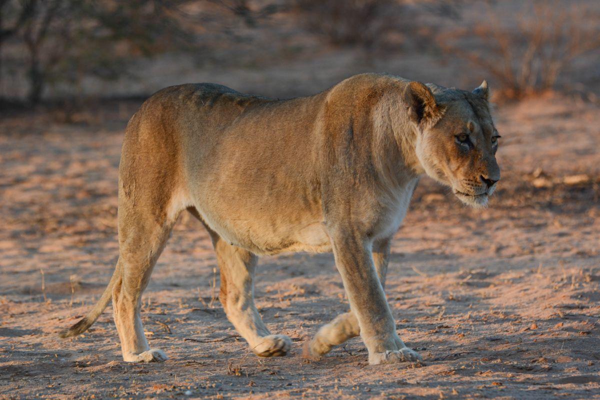 A female lion walking