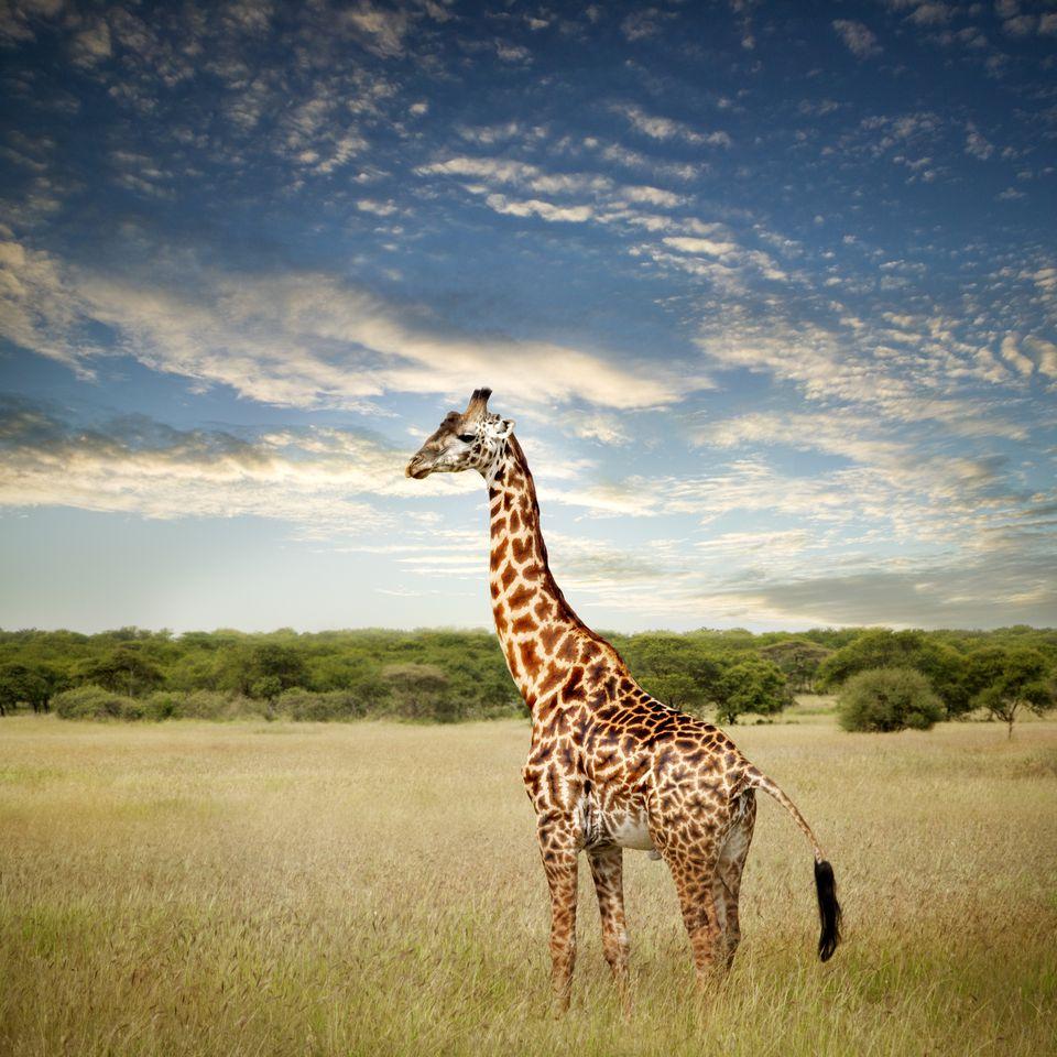 Giraffe in Africa's Serengeti