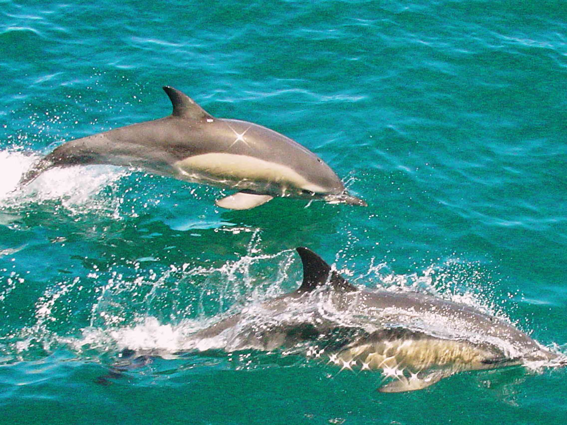 two grey dolphins swimming in turquoise water