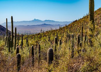 Young saguaros line the hillside