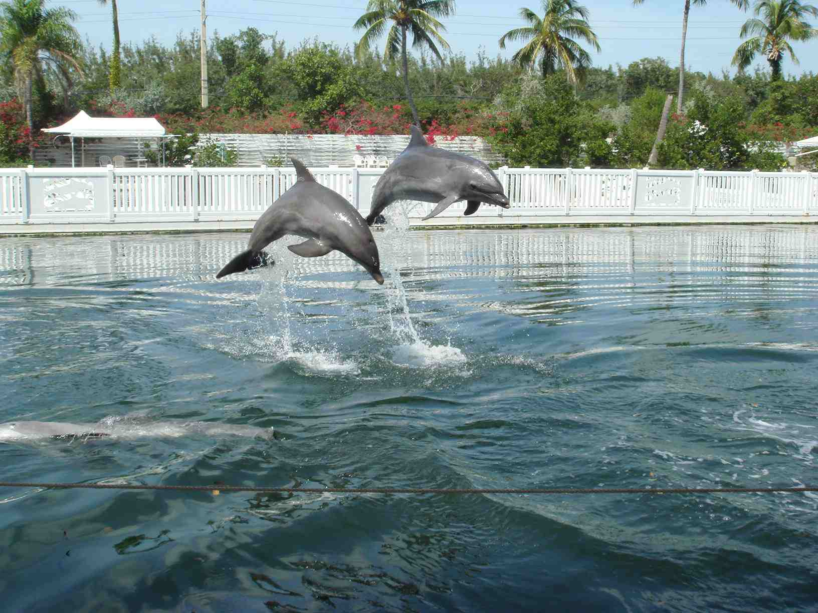 Two dolphins jumping out of the water at Theater of the Sea