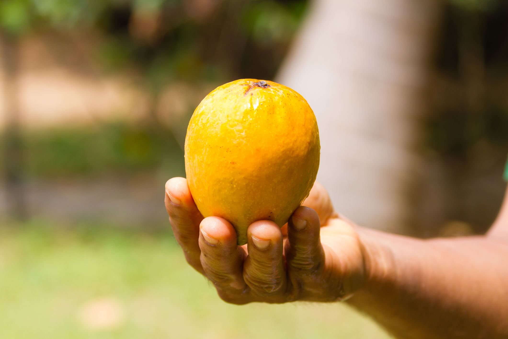 Man holding a mango in India