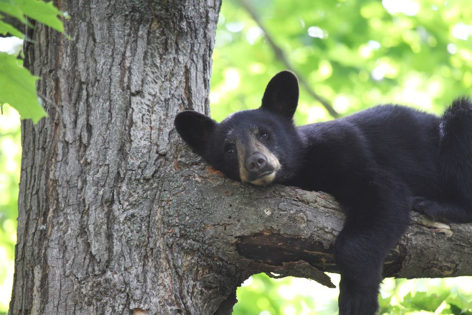 Tired Black Bear Cub