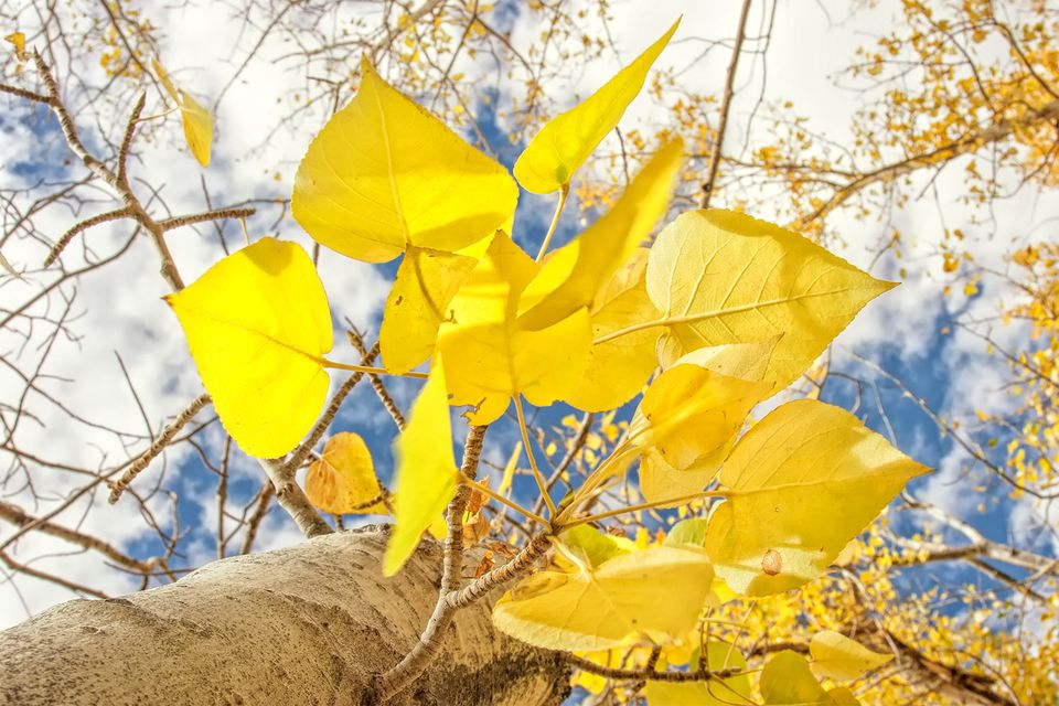 Aspen Leaves in the Fall, Eastern California