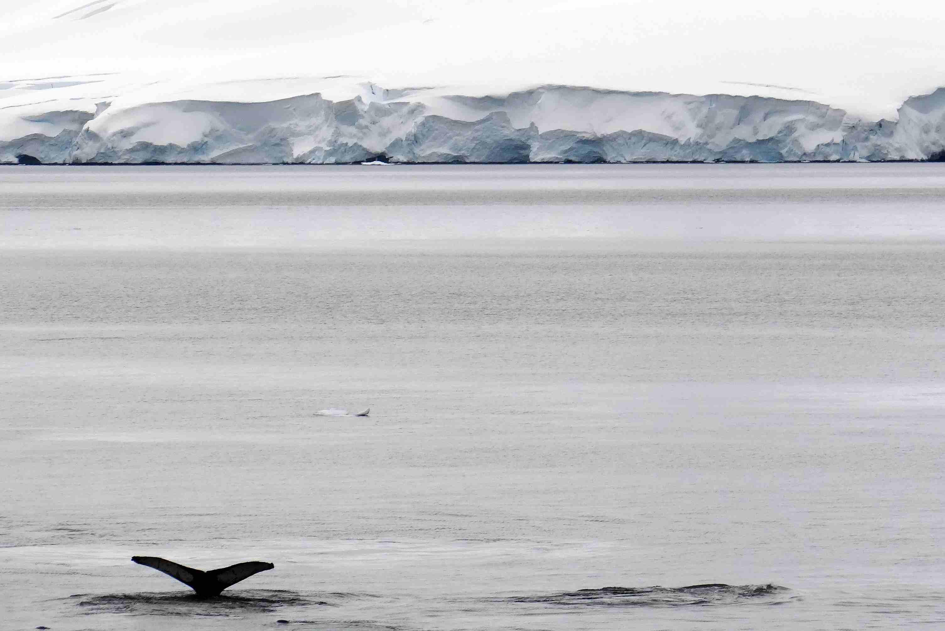 Whales in Wilhelmina Bay, Antarctica
