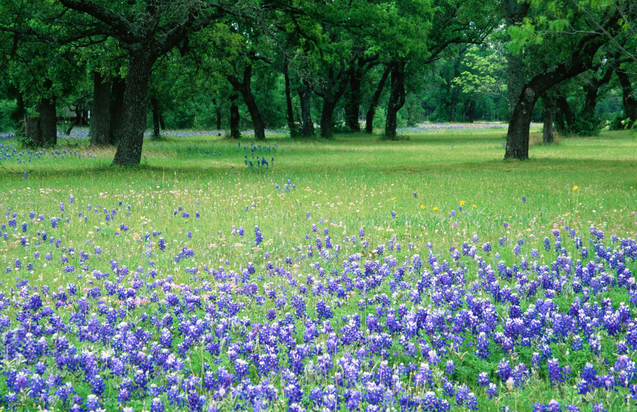 Wild bluebonnets in field, Kerrville city.