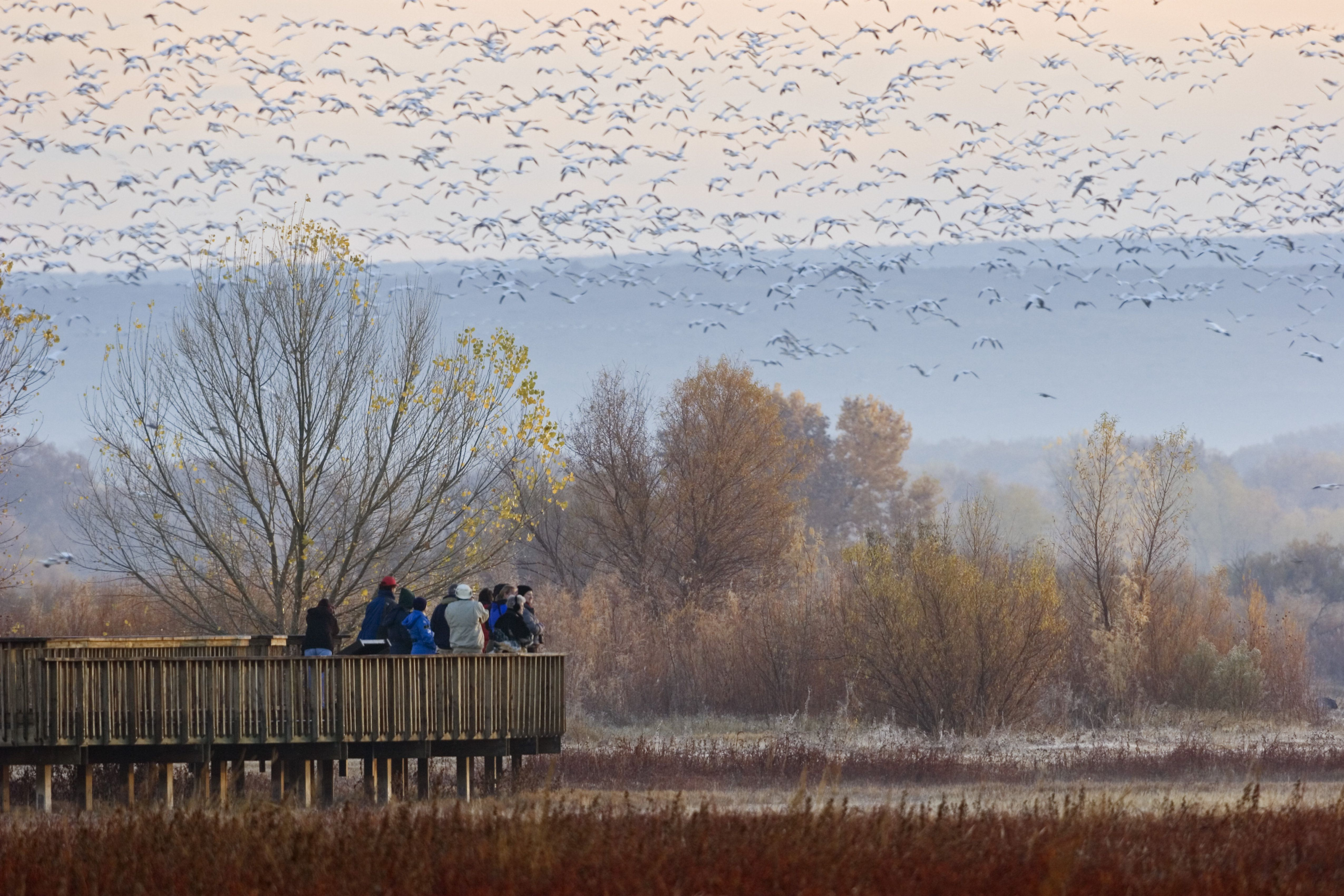 'tourists on platform in Bosque del Apache Wildlife Refuge, Snow Geese wintering, New Mexico, USA'