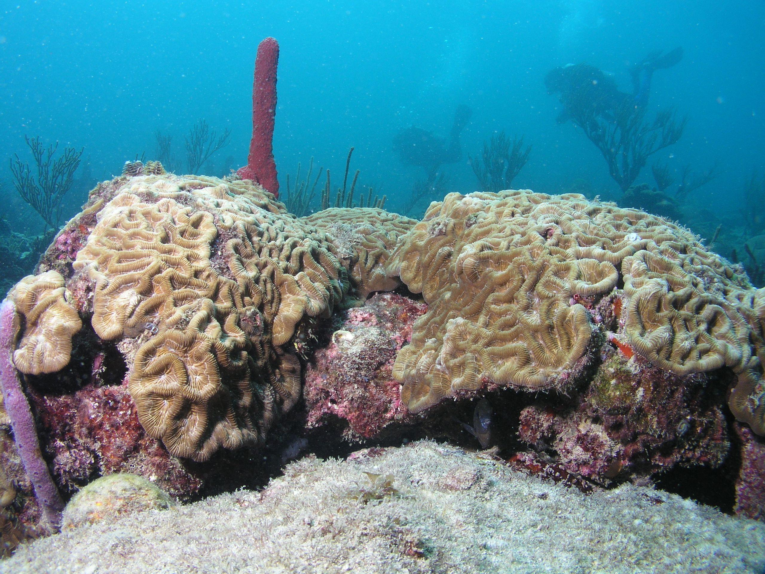 coral at Vista Park Reef, Fort Lauderdale