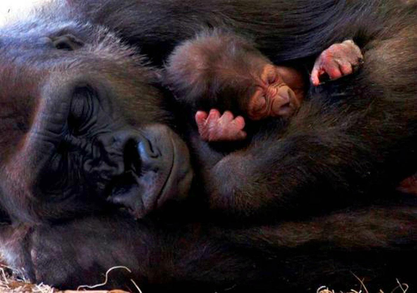 Baby Gorilla Arlene
