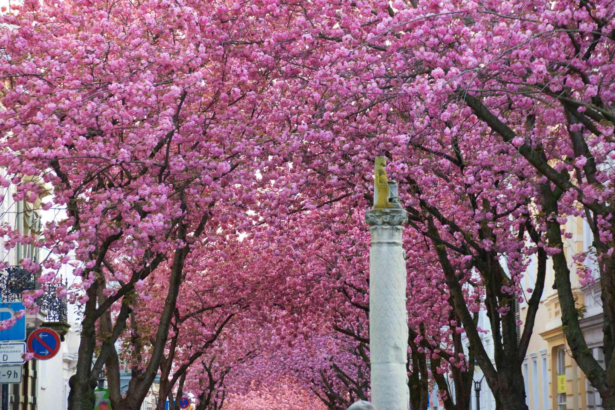 Cherryblossom in Bonn