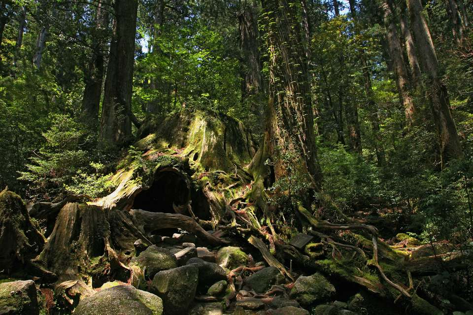 large tree trunk in a dense forest