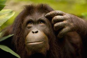 An orangutan at Sepilok Orangutan Centre in Sabah, Borneo