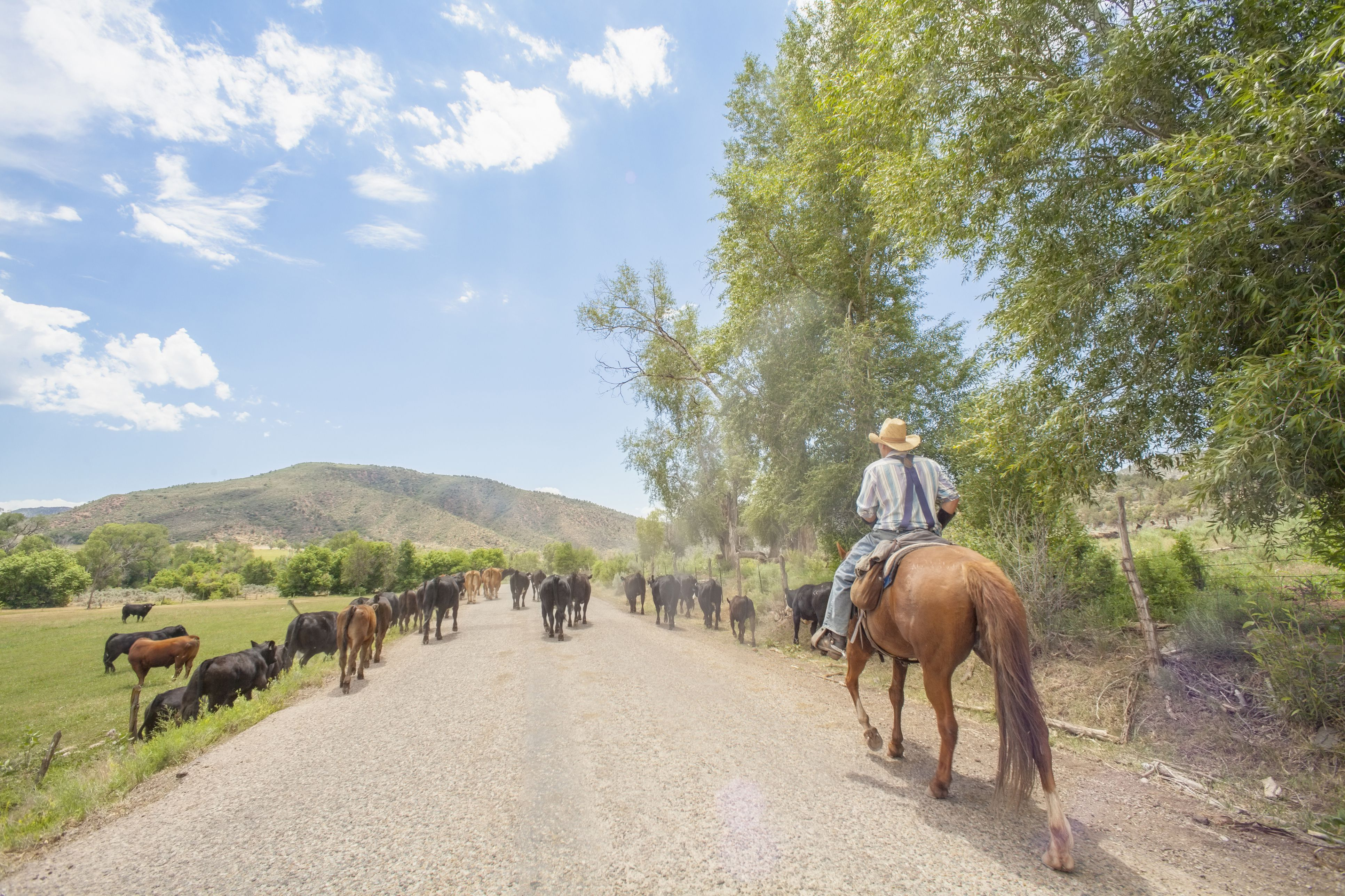 USA, Colorado, Cowboy with cattle