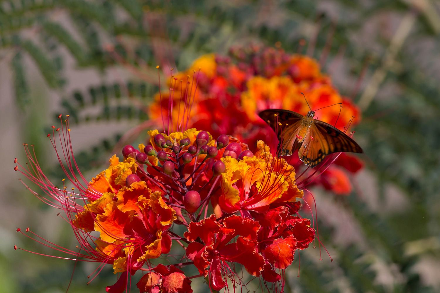 Easy Desert Plant: Red or Mexican Bird of Paradise