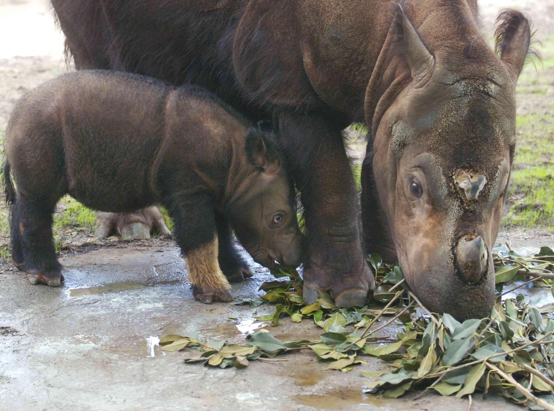 Cincinnatti Zoo?s Baby Sumatran Rhino Makes First Public Appearance