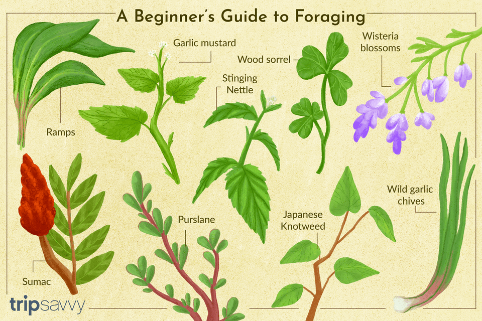 Illustration depicting common plants found while foraging