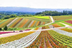 Panorama of Colourful Flower Garden at Shikisai No Oka Flower Garden in Summer, Furano, Hokkaido, Japan