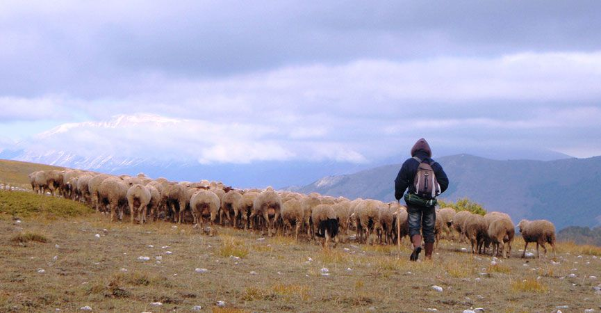 Transumanza man walking with sheep