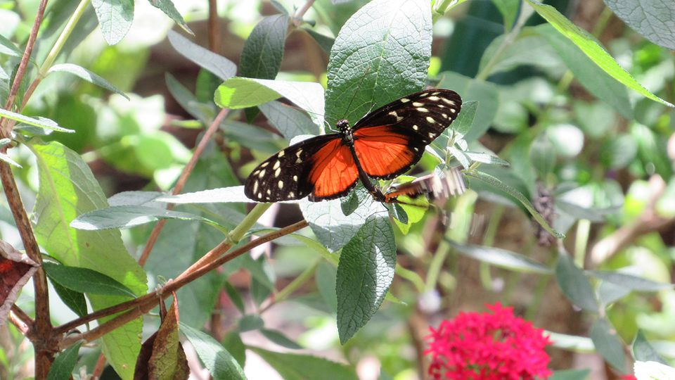 A butterfly at Florida's Butterfly World.