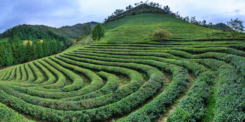 Panoramic view of green tea farm
