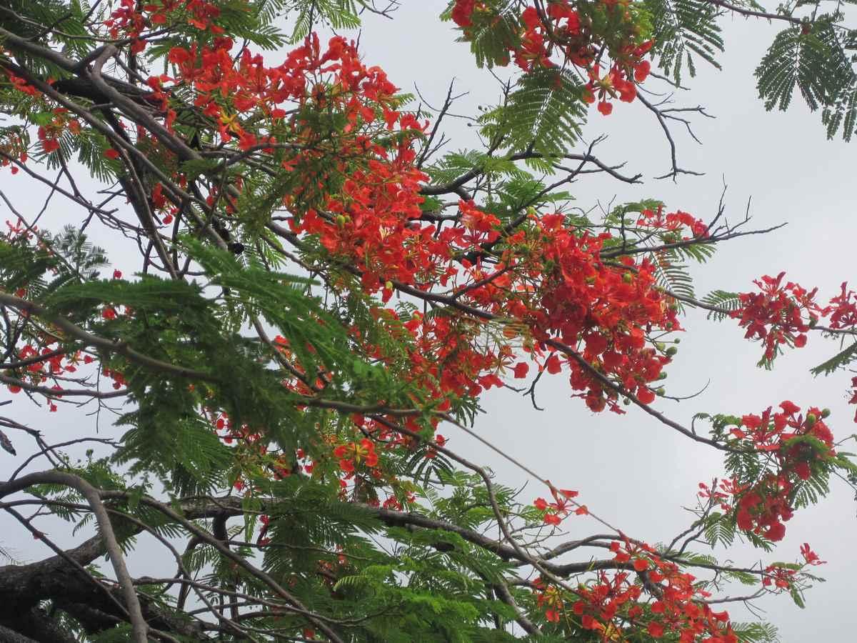 Poinciana Flowering Tree