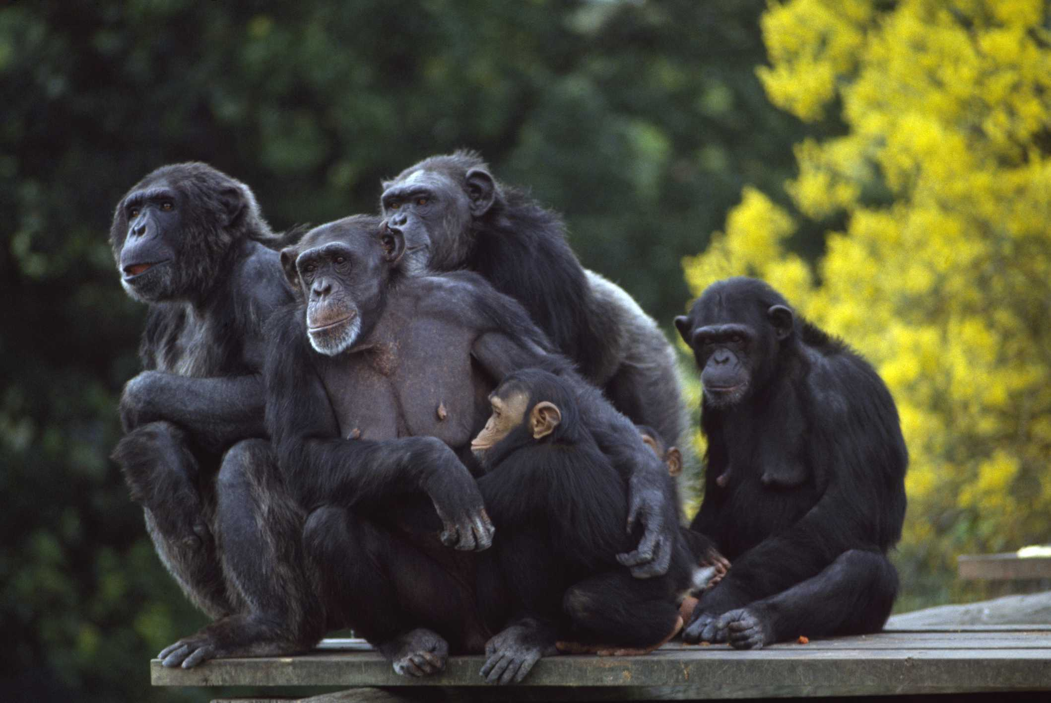 Chimpancés, zoológico de Dublín, Phoenix Park, Dublín, Irlanda