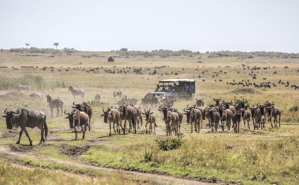 Safari vehicle surrounded by wildebeest in the Masai Mara National Reserve