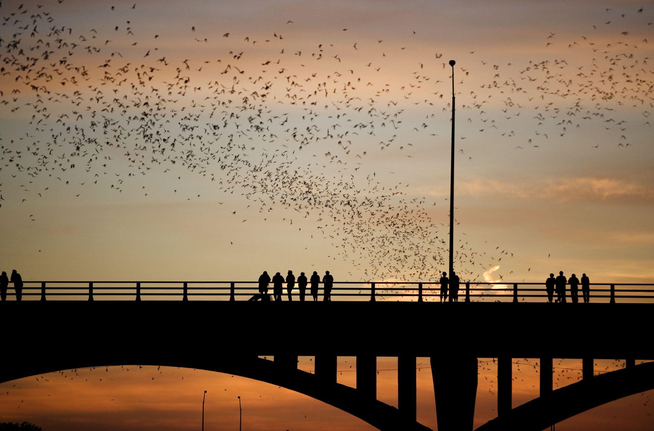 How To See Austin Bats At The Congress Avenue Bridge
