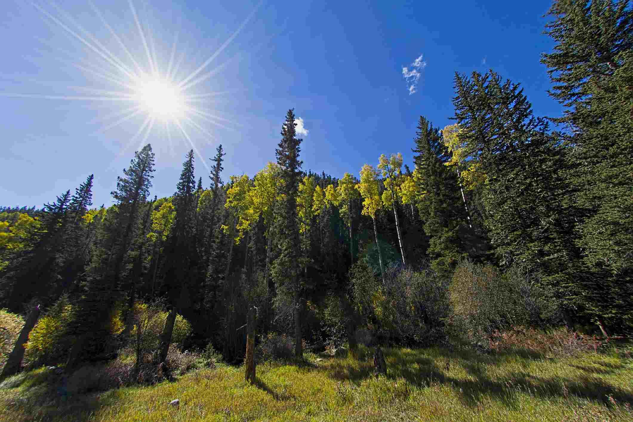 Sun and Aspen grove